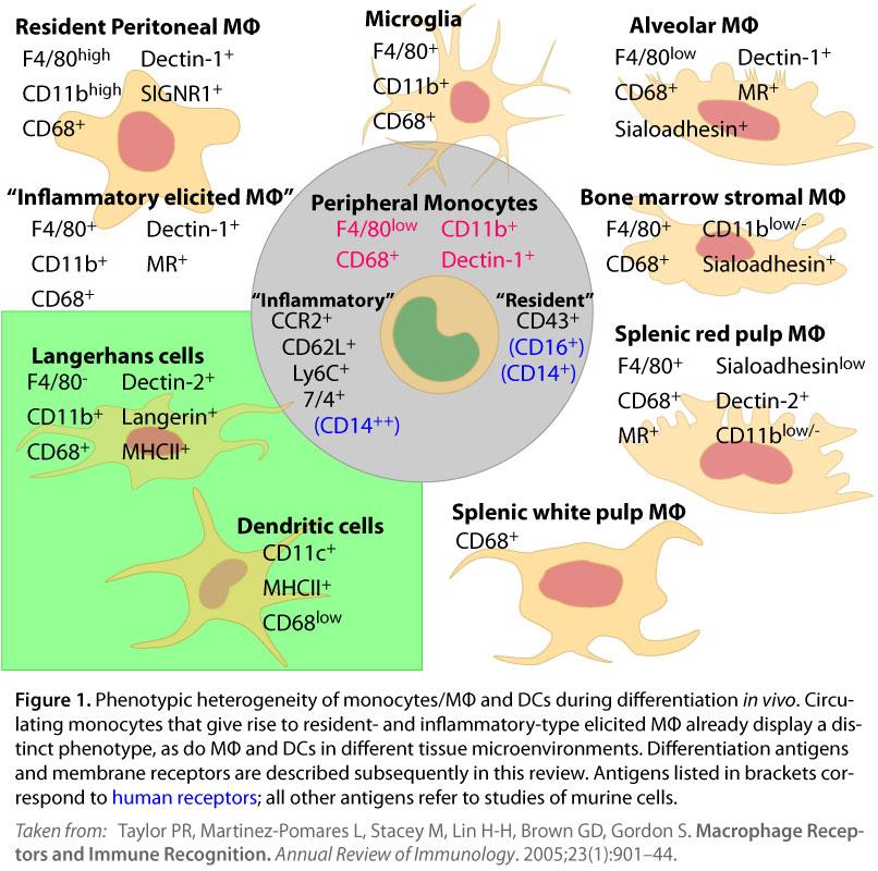 Phagocyte Binding Epitopes